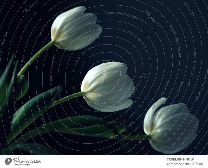 Weisse Tulpen 4 Natur blau Pflanze schön grün weiß Erholung Blatt ruhig dunkel kalt Liebe feminin Blüte natürlich Stil