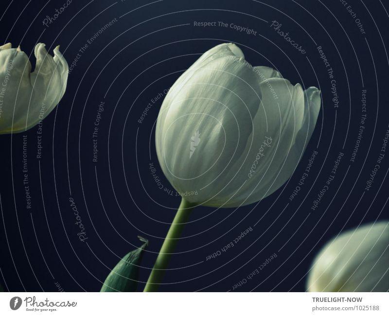 Weiße Tulpen 3 ... schön grün weiß Erholung ruhig dunkel feminin grau Lifestyle Wohnung Raum elegant Design Zufriedenheit Dekoration & Verzierung ästhetisch