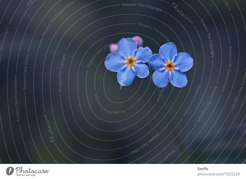 Vergissmeinnicht blühen romantisch im Frühling Blume Blüte blau Unschärfe schön Garten Pflanze Vergißmeinnicht Hintergrund neutral Textfreiraum Blühend