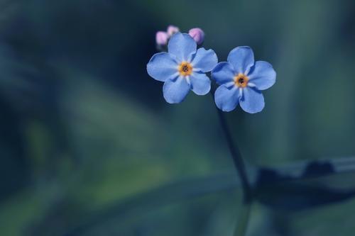 zusammenhalten Natur blau Pflanze Sommer Blume Paar Zusammensein Freundschaft Textfreiraum Blühend Romantik Zusammenhalt Partnerschaft Blütenblatt Sympathie