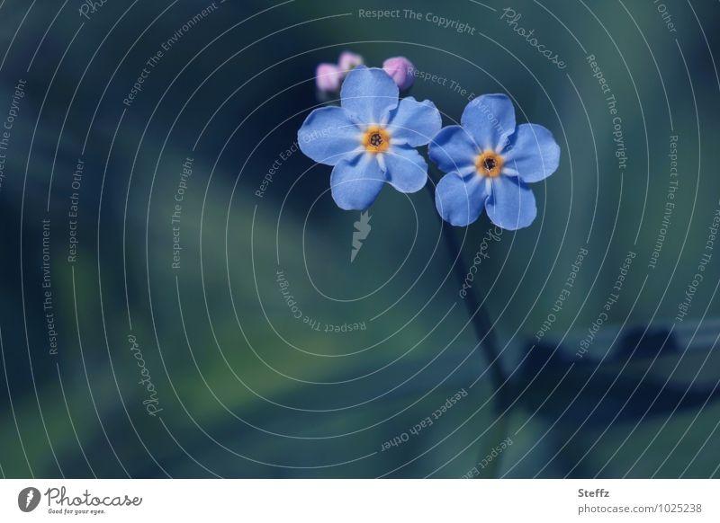 zwei blaue Vergissmeinnichtblüten halten zusammen Vergißmeinnicht Vergißmeinnichtblüte heimisch blaue Blumen blaue Blüten heimische Wildpflanzen