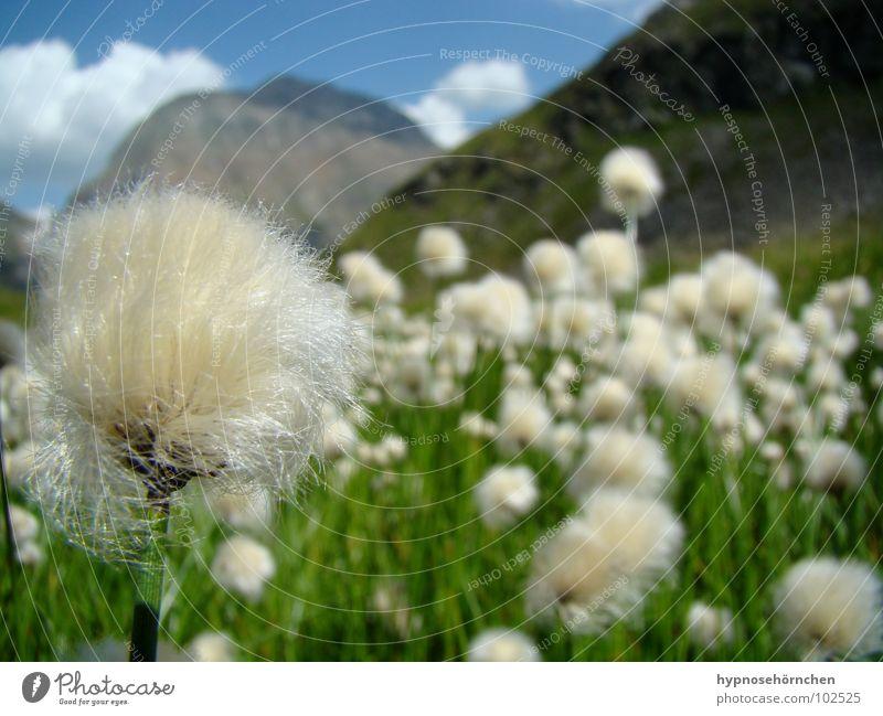 Flauschig Ferien & Urlaub & Reisen Österreich Blume Wolken Löwenzahn weich Wiese grün weiß Tiefenschärfe Gras Wollgras Berge u. Gebirge Sommer Himmel