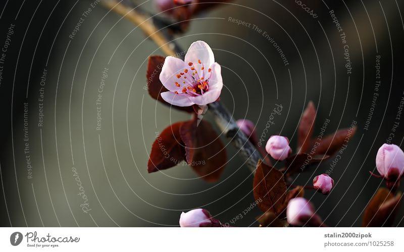 japan elegant schön Gesundheit Gartenarbeit Natur Frühling Blume verblüht Farbfoto Detailaufnahme Tag Unschärfe Vorderansicht Blüte Blühend zart offen