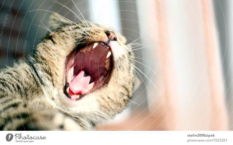 Auto Luft Katze 1 Tier Farbfoto Detailaufnahme Tag Unschärfe Tierporträt gefährlich Zähne zeigen Gebiss Katzenkopf Schwache Tiefenschärfe drohen drohend