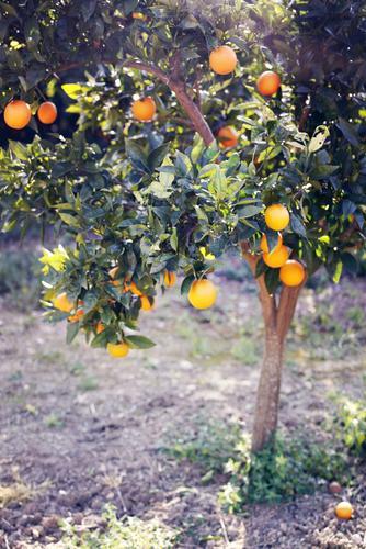Vitamin-C-Baum. Natur Gesunde Ernährung Landschaft Umwelt Gesundheitswesen Wachstum Orange ästhetisch lecker Ernte reif Obstbaum Vitamin C Orangensaft