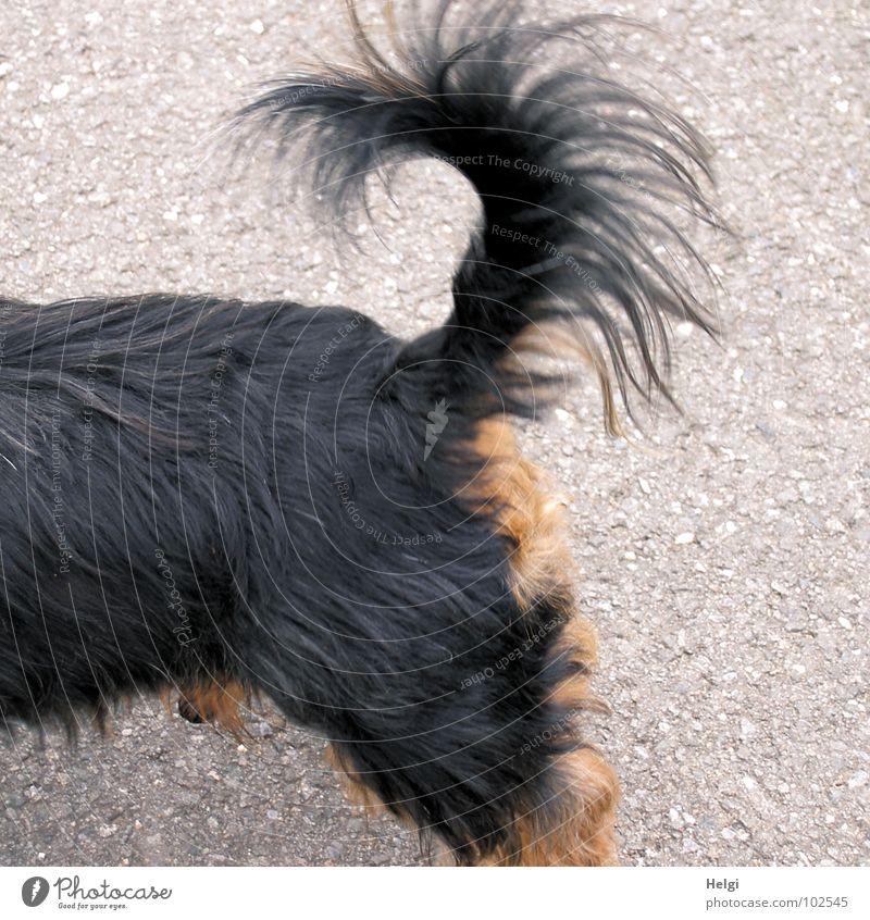 aufmerksam und furchtlos.... Sommer schwarz Straße Haare & Frisuren grau Hund Wege & Pfade Beine braun klein Rücken hoch stehen Spaziergang Hinterteil