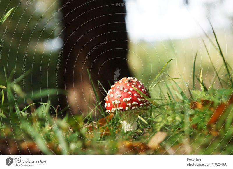 Rotkäppchen Umwelt Natur Pflanze Herbst Schönes Wetter Gras Wildpflanze Wald hell natürlich grün rot weiß Gift Fliegenpilz Pilz Pilzhut Farbfoto mehrfarbig