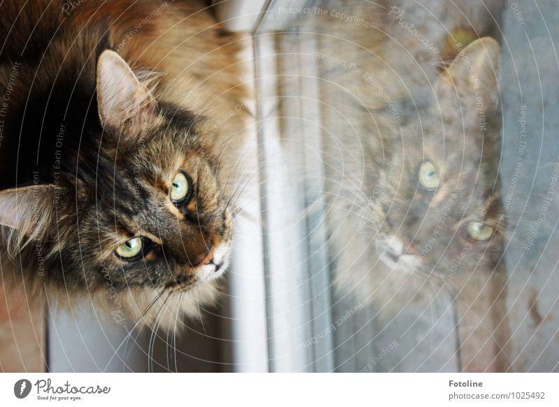 Bitte! Darf ich raus? Tier Haustier Katze Tiergesicht Fell 1 elegant nah Neugier weich Katzenohr Katzenauge Fensterladen Fensterscheibe Maine Coon Rassekatze