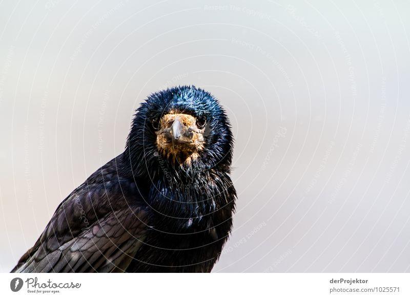 Was guckst du? Umwelt Natur Landschaft Pflanze Tier Frühling Küste Insel Wildtier Vogel Aggression ästhetisch dunkel authentisch kalt schwarz Gefühle