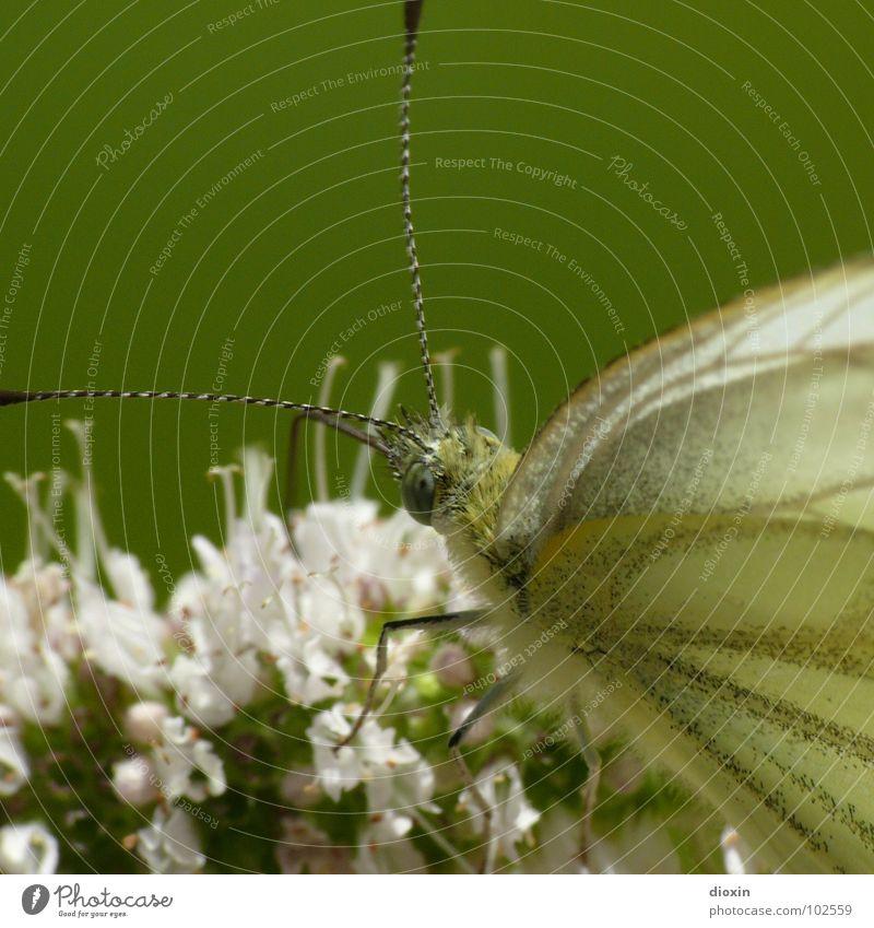 Papillon Du Chassezac Natur schön Blume grün Pflanze Tier Wiese Blüte Garten Park rosa Umwelt Sträucher Flügel Insekt Schmetterling