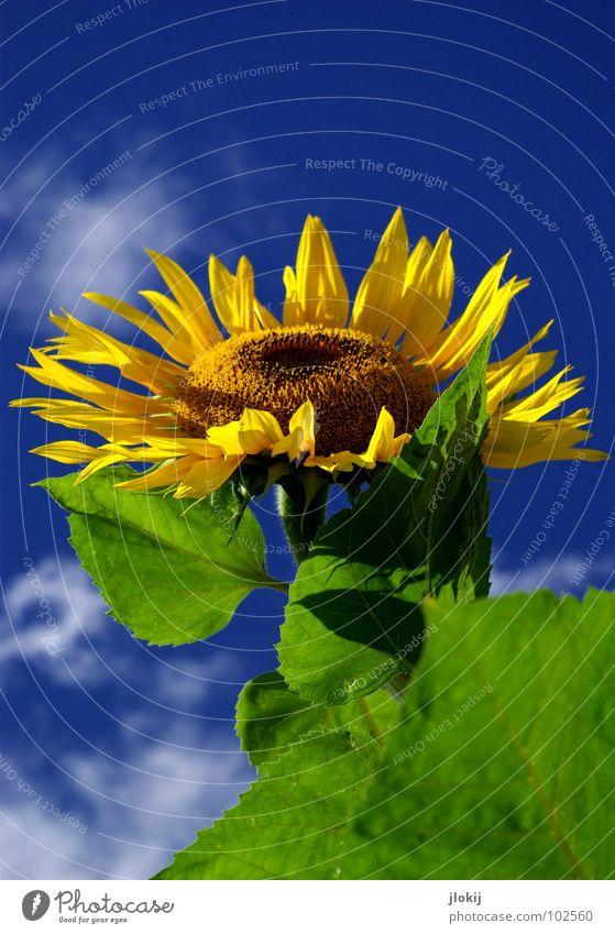 Sunny Sonnenblume Stengel gelb grün Wolken Schönes Wetter Blüte Blume Pflanze Lebewesen Korbblütengewächs Feld Gute Laune Kerne Gesundheit Ernährung Sommer blau