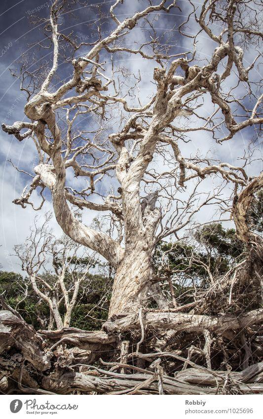 vieux artères vitales Natur Landschaft Baum Mangrove Wurzel Wurzelholz Wurzelgeflecht Urwald Australien + Ozeanien alt ästhetisch gigantisch historisch maritim