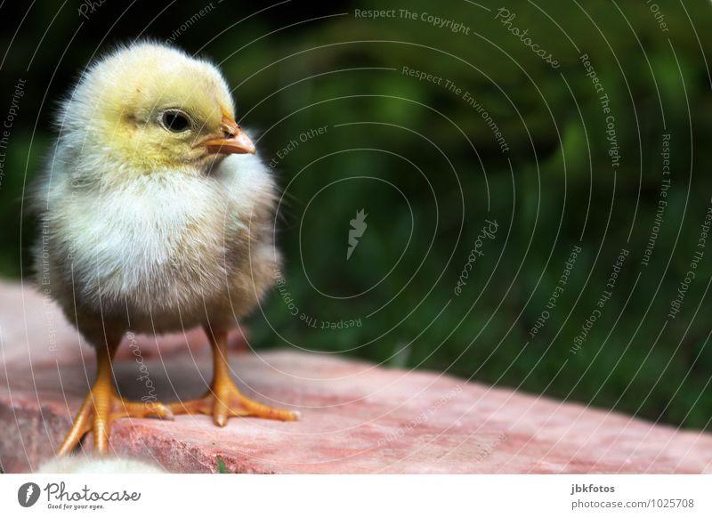 Zum Liebhaben... schön Tier Tierjunges Glück klein außergewöhnlich Lebensmittel Vogel blond ästhetisch Ernährung Flügel Landwirtschaft lecker Bauernhof