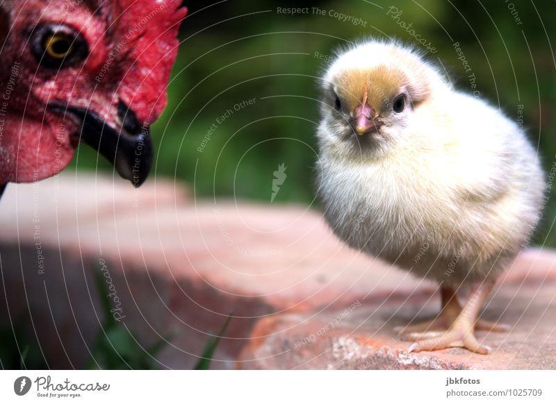 Mutti, Du nervst! Umwelt Natur Pflanze Wiese Tier Nutztier Vogel Küken Haushuhn Schnabel 2 Tierjunges Tierfamilie träumen Landwirtschaft Bodenhaltung Bauernhof