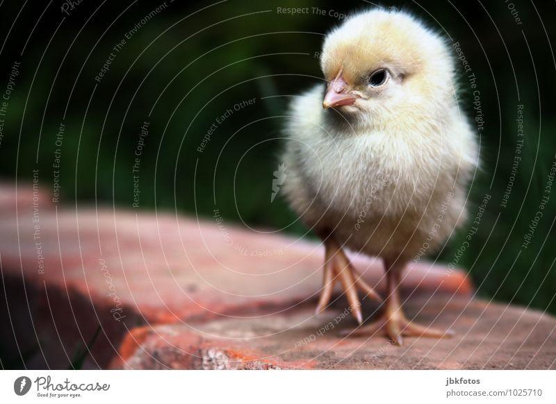 Angry Bird Lebensmittel Fleisch Ernährung Tier Nutztier Vogel Tiergesicht Flügel Küken Haushuhn Hahn 1 Tierjunges ästhetisch außergewöhnlich blond Glück schön