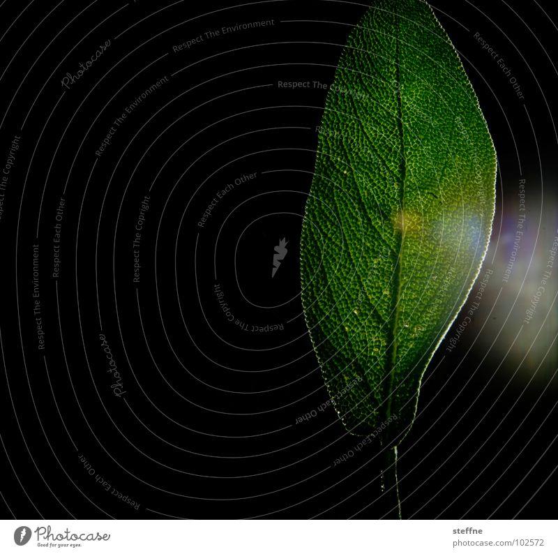 Salvia Natur schön weiß Blume grün Pflanze Blatt schwarz gelb Lampe dunkel glänzend Bioprodukte schimmern Photosynthese