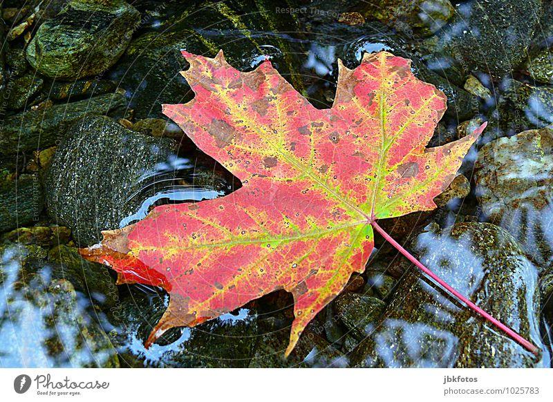 Oh Canada Umwelt Natur Pflanze Baum Blatt Grünpflanze Nutzpflanze Wildpflanze Ahorn Ahornblatt trendy herbstlich Herbst Herbstlaub Wasser Spiegelbild Flussufer