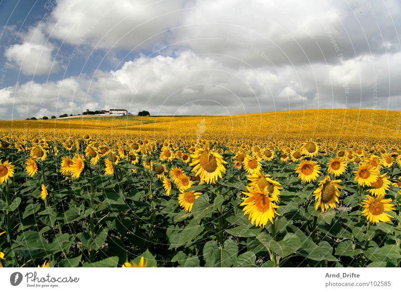 Sonnenblumemnfeld mit Haus Natur Himmel weiß Blume blau Sommer Wolken gelb Arbeit & Erwerbstätigkeit Frühling Glück Gebäude Landschaft Feld Horizont