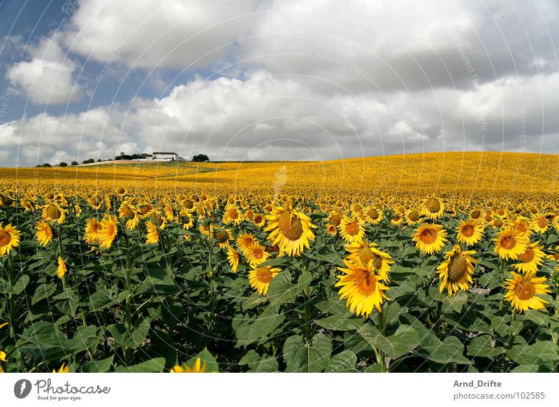 Sonnenblumemnfeld mit Haus Wolken Feld Blume Sommer gelb weiß Frühling Horizont Landwirtschaft fleißig Arbeit & Erwerbstätigkeit Fröhlichkeit Freundlichkeit