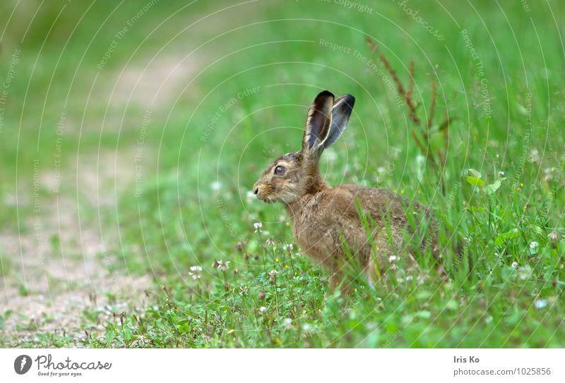 ups, ... Natur Tier Sommer Wiese Wildtier Fell Hase & Kaninchen 1 beobachten warten kuschlig natürlich niedlich braun grün Tierliebe Wachsamkeit Schüchternheit