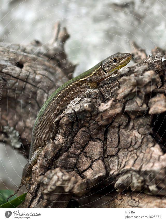C in grün Tier Wildtier Schuppen Echte Eidechsen Reptil 1 beobachten krabbeln Blick ästhetisch klein natürlich bescheiden Echsen Lacertidae Farbfoto