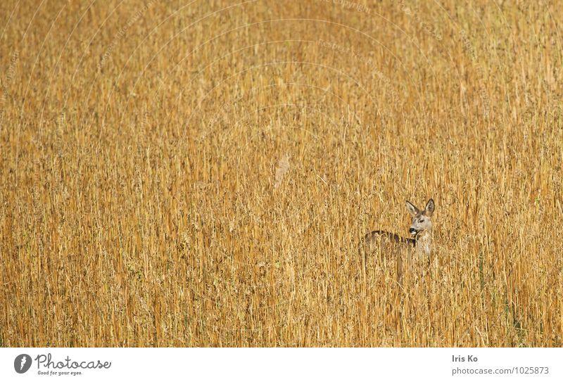 Tarnung hilft Natur Pflanze Tier Feld Wildtier Reh 1 beobachten stehen ästhetisch natürlich Wachsamkeit hören beige Farbfoto Gedeckte Farben Außenaufnahme Tag