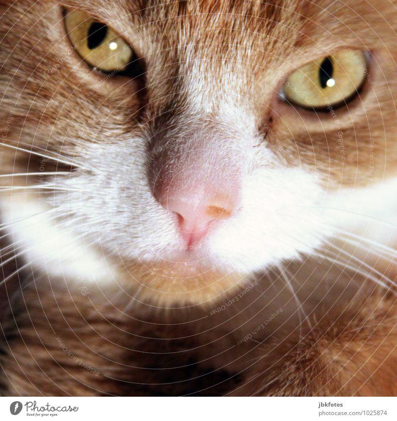 Mausekiller Tier Haustier Nutztier Katze Tiergesicht 1 sportlich hell schön Hauskatze rothaarig orange Nase Auge Innenaufnahme kuschlig Tierporträt Nahaufnahme