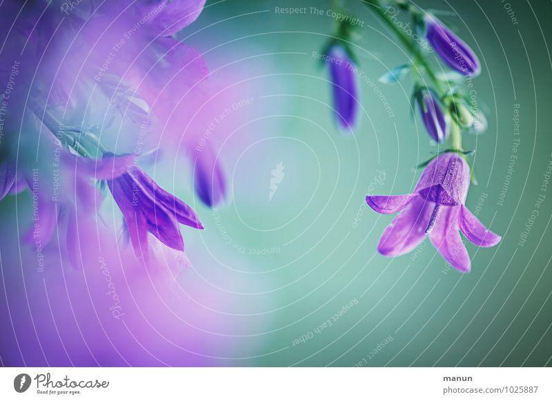 purple Natur Frühling Sommer Pflanze Blume Blüte Glockenblume Frühlingsfarbe Frühlingsblume Duft natürlich positiv weich blau grün violett türkis