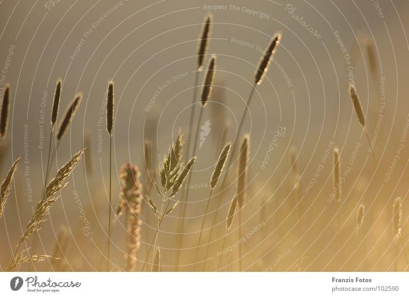 erleuchtet Natur Pflanze Wiese Gras Freiheit Stimmung gold Erwartung