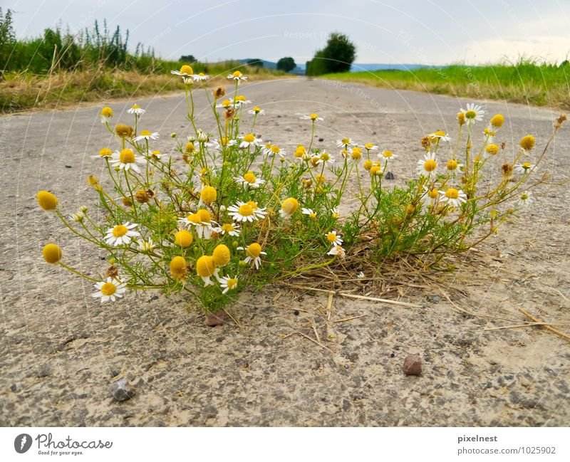 Kamille aus dem Asphalt Natur Pflanze grün weiß Sommer gelb Straße Blüte Feld Wachstum Kraft Blühend Fußweg Kräuter & Gewürze Duft