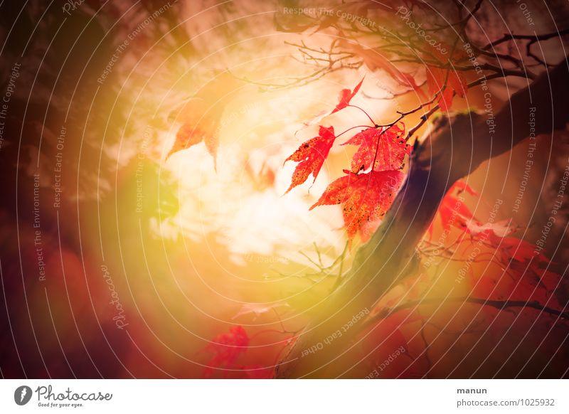 farbflash Natur grün Baum rot Blatt gelb braun fantastisch Wandel & Veränderung Hoffnung Trauer herbstlich Ahornblatt Herbstfärbung Ahornzweig