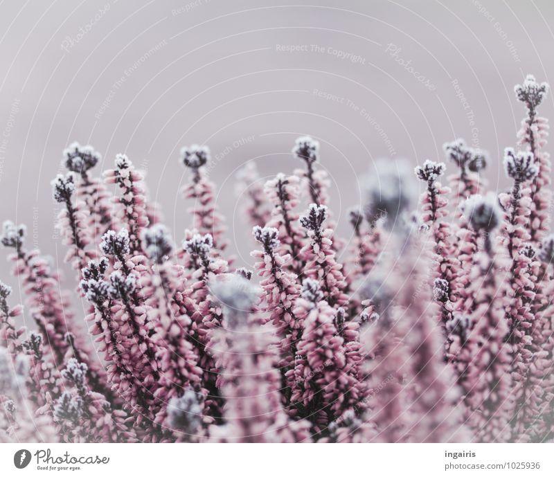 Heather likes ice Natur Pflanze Winter Klima Eis Frost Blume Sträucher Blüte Heidekrautgewächse Bergheide Blühend Wachstum kalt natürlich schön violett rosa