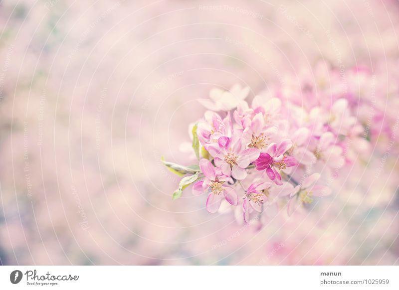 Mädchenrosa Natur weiß Frühling Blüte natürlich hell frisch weich zart Frühlingsgefühle Kirschblüten Frühlingsblume Frühblüher Frühlingsfarbe
