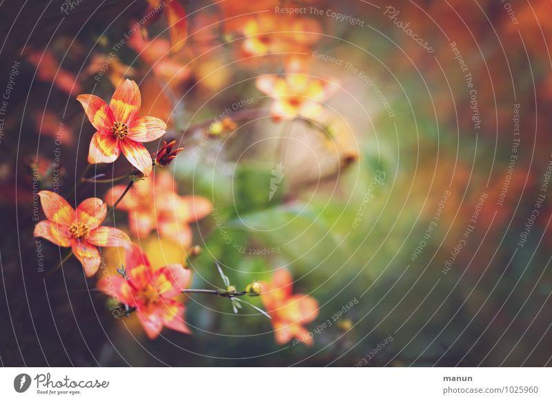 orange Natur Sommer Herbst Pflanze Blume Sträucher Blüte Topfpflanze herbstlich Garten Park Blühend leuchten natürlich Wärme gelb grün rot Farbfoto
