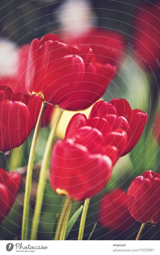 Tulpenzeit Natur Frühling natürlich rot Farbfoto Außenaufnahme Menschenleer Tag Kontrast