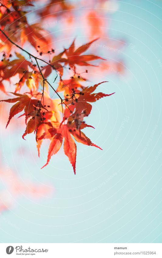 filigran Natur Himmel Frühling Herbst Schönes Wetter Pflanze Baum Blatt Blüte Ahornblatt Ahornzweig Zweige u. Äste herbstlich authentisch natürlich rot türkis