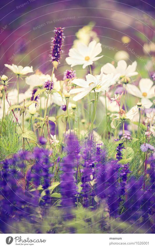 es blüht Garten Gartenarbeit Gärtnerei Natur Pflanze Sommer Herbst Blume Sträucher Blüte Wildpflanze grün violett weiß Farbfoto Außenaufnahme Tag Kontrast