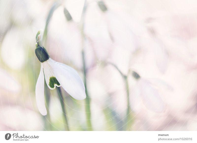 Winter ade Natur Frühling Pflanze Blume Blüte Wildpflanze Schneeglöckchen Frühblüher Frühlingsblume außergewöhnlich schön kalt klein natürlich grün rosa weiß