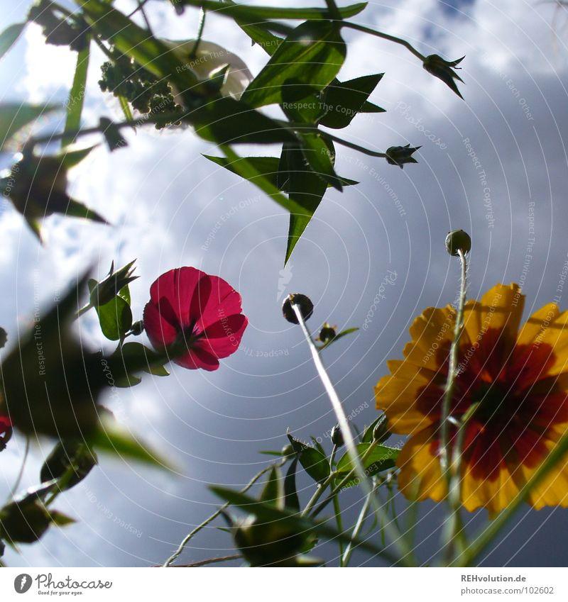 Alarm für wasserscheue Insekten ... Blume Wiese Wolken Gewitterwolken Wachstum Froschperspektive streben bedrohlich Pflanze Blüte Sommer mehrfarbig frisch kalt