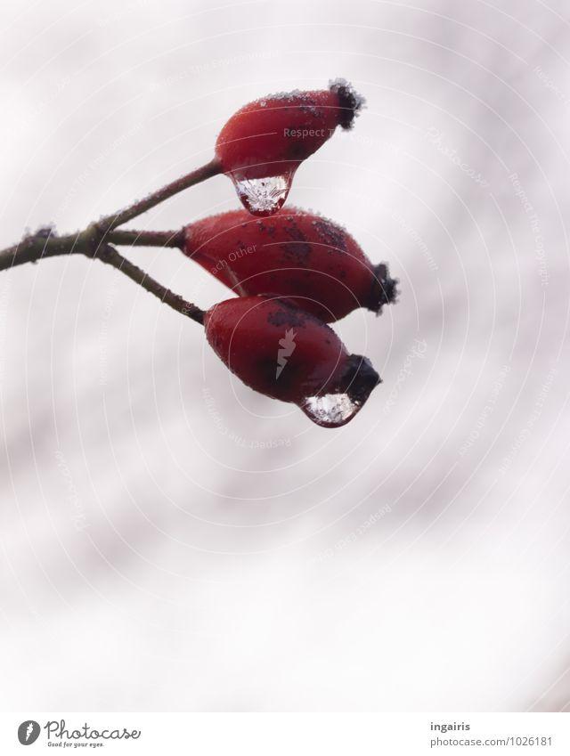 Hagebuttenicetea Frucht Natur Pflanze Wassertropfen Himmel Wolken Winter Klima Eis Frost kalt nass natürlich stachelig trist grau rot weiß stagnierend Stimmung