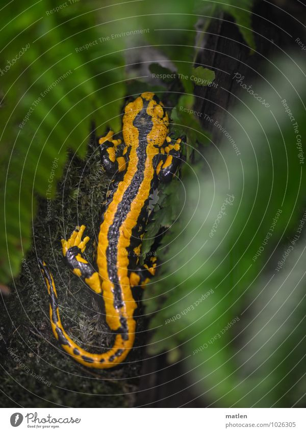 wie man sich bettet grün Tier gelb braun Aussicht Pause Farn Schuppen