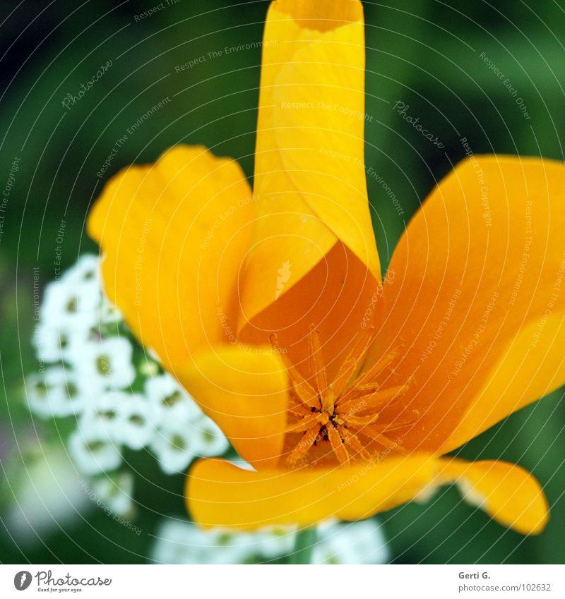 Röllchen Natur weiß Blume gelb Blüte Stern (Symbol) rund dünn zart fein Rolle Pollen Stempel filigran ausbreiten entfalten