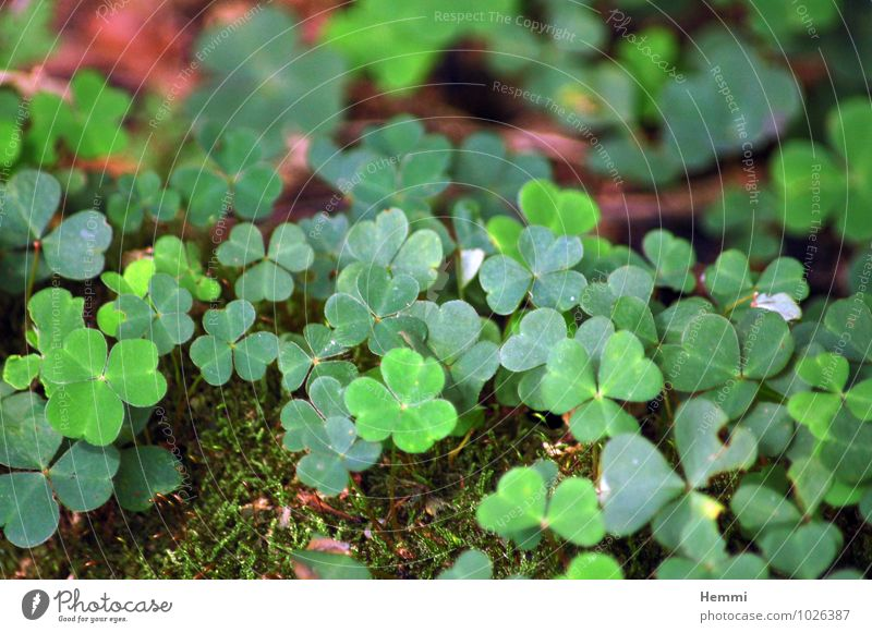 Kleeblatt Natur Pflanze grün Blume Blatt Landschaft Wald Umwelt Wiese Gras Blüte Garten braun Felsen Park Feld