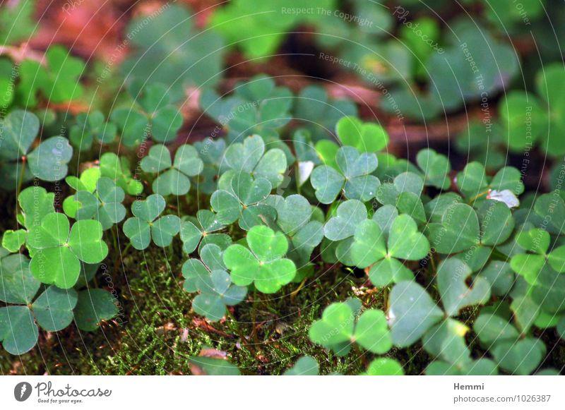 Kleeblatt Umwelt Natur Landschaft Pflanze Blume Gras Moos Blatt Blüte Grünpflanze Garten Park Wiese Feld Wald Hügel Felsen braun grün Kleeblüte Farbfoto