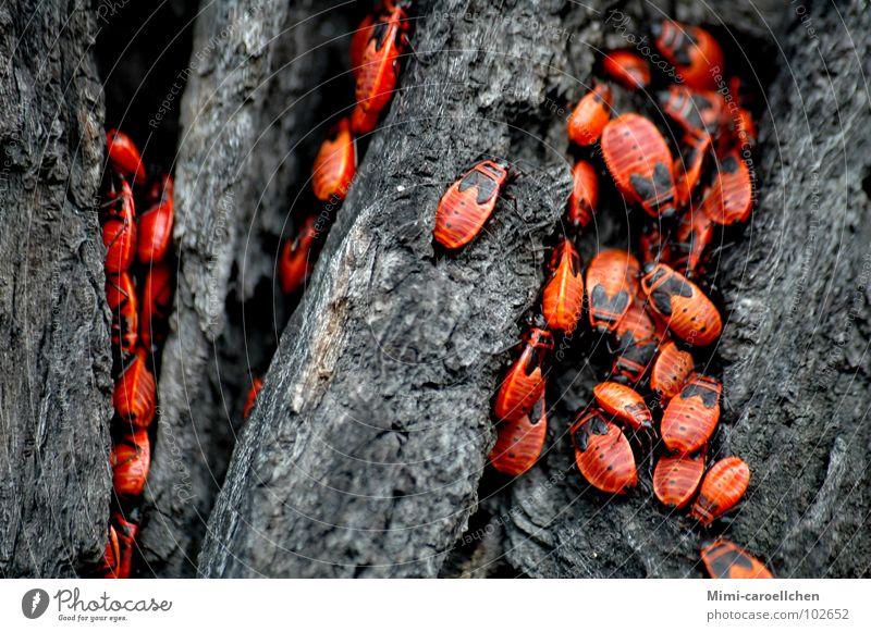 das große Krabbeln... Baum rot schwarz dunkel Bewegung Freiheit grau hell klein nah Insekt Käfer Baumrinde Polen Breslau