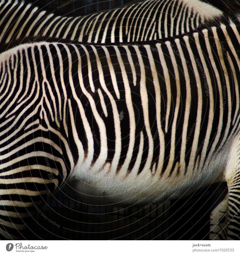 Streifen machen schlank Stil Afrika Zebra 2 Tier Tierpaar vertikal stehen authentisch exotisch Originalität schwarz weiß Stimmung Einigkeit Zusammensein