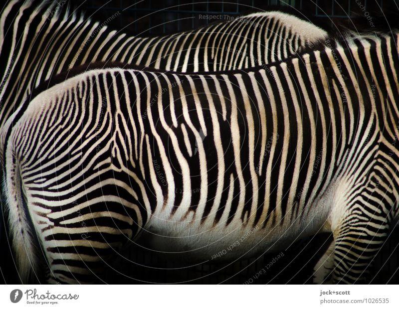 Zebrastreifen sind nie allein 2 stehen Einigkeit gleich Inspiration kopflos Körperhaltung Warmes Licht Körperspannung Gedeckte Farben Detailaufnahme abstrakt