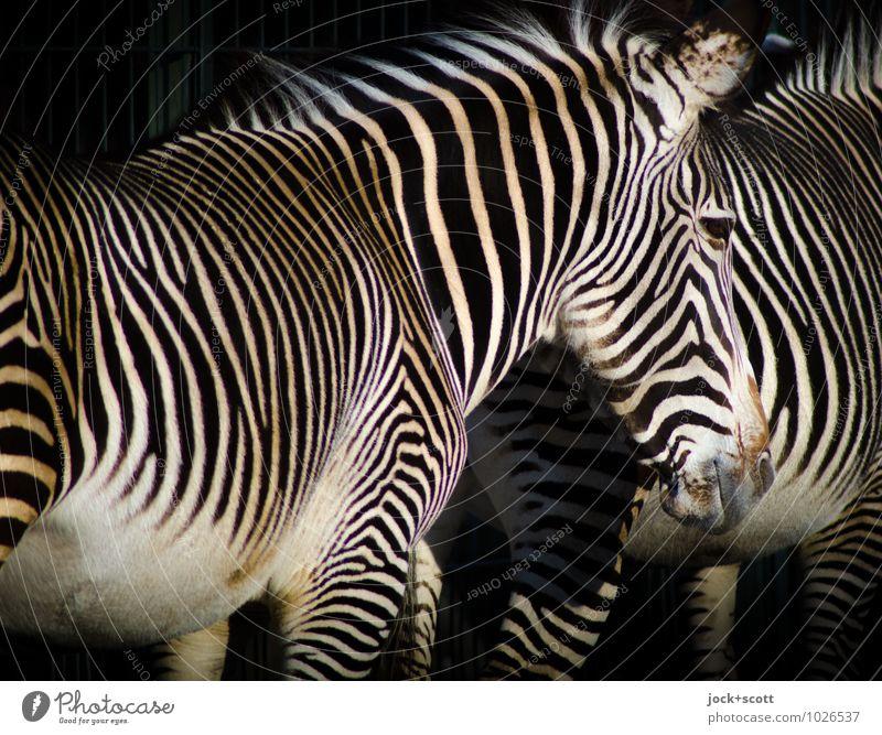 Zebras zusammen stehen weiß Erholung Erotik ruhig Tier schwarz natürlich Stil außergewöhnlich Zusammensein Zufriedenheit Tierpaar warten Streifen Vertrauen