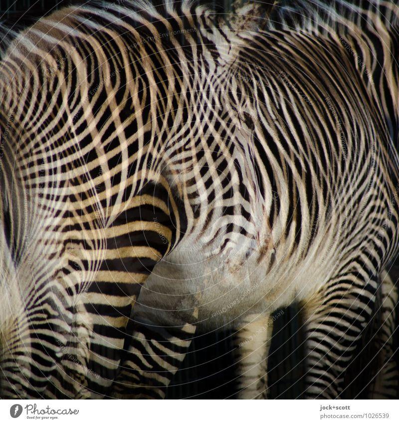 Zebra Club weiß Erholung Tier schwarz Stil Design stehen Tierpaar warten fantastisch Streifen einzigartig Schutz Afrika Geister u. Gespenster Irritation