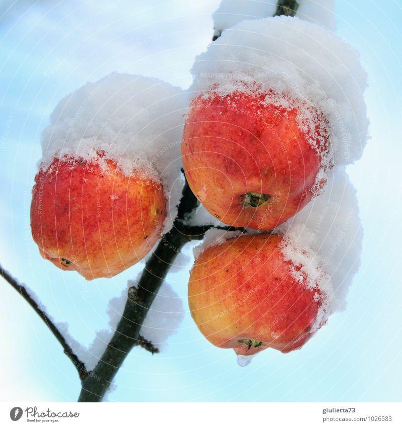 So wächst Tiefkühlkost Umwelt Natur Winter Klima Eis Frost Schnee Pflanze Baum Nutzpflanze Apfel Apfelbaum Obstbaum Frucht Garten frieren hängen frisch